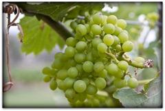 k - grapes