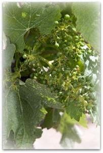 om-grapes1