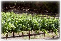 villicana grapes