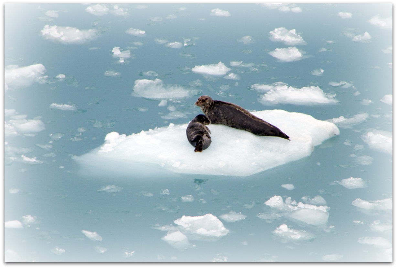 Hubbard Glacier Seals