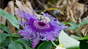 Wineormous passion flower in St. Augustine, Florida
