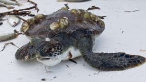 St Simons Island Sea Turtle